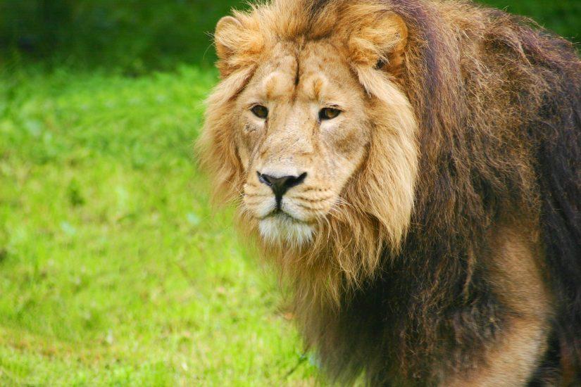 Lion 1021673 1920